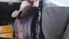 Українець незаконно упіймав серед зими величезну 140-кілограмову рибу (ФОТО)