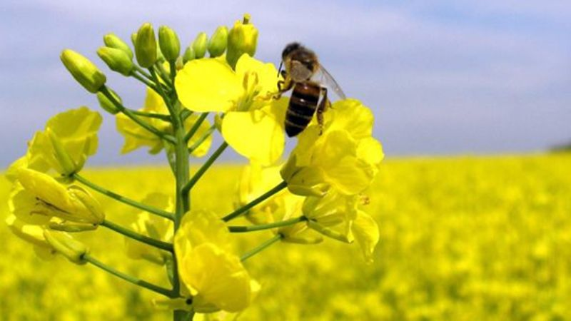 бджола, ріпак