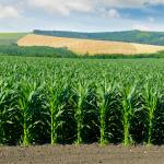 кукурудза, новини Тернопільщини