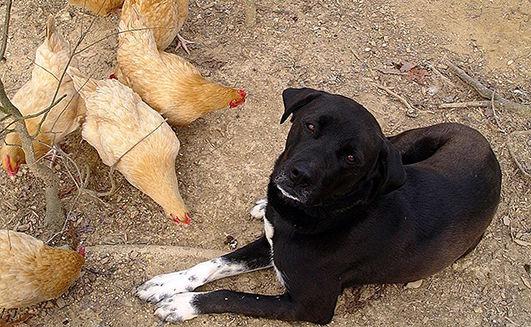 собака і кури