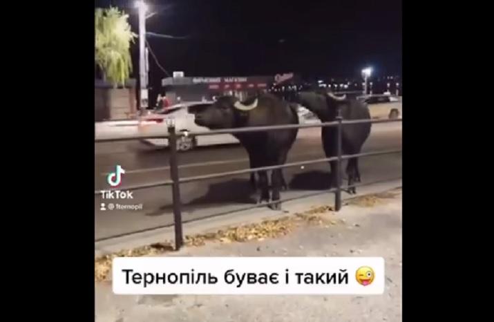 буйволи у Тернополі